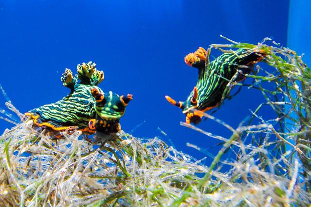 アカフチリュウグウウミウシ