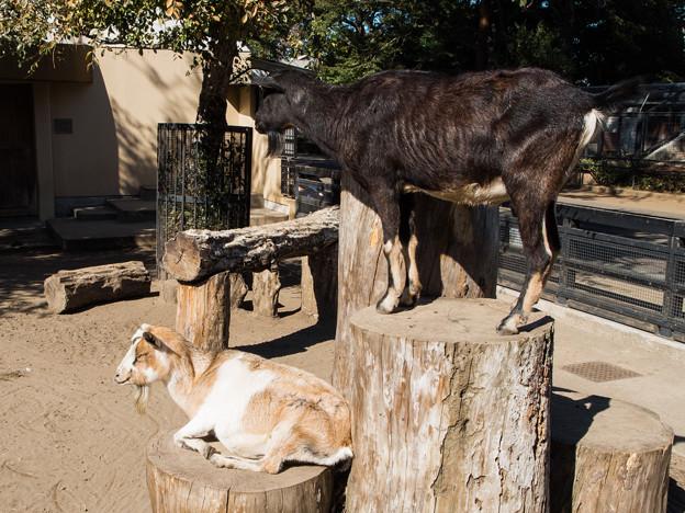 井の頭自然文化園のヤギ