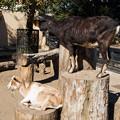 Photos: 井の頭自然文化園のヤギ