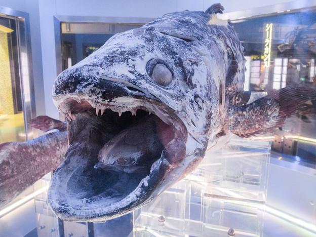 冷凍シーラカンスの標本