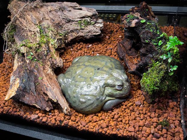 アフリカウシガエルの水槽