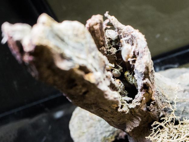 朽木に隠れるコオロギ
