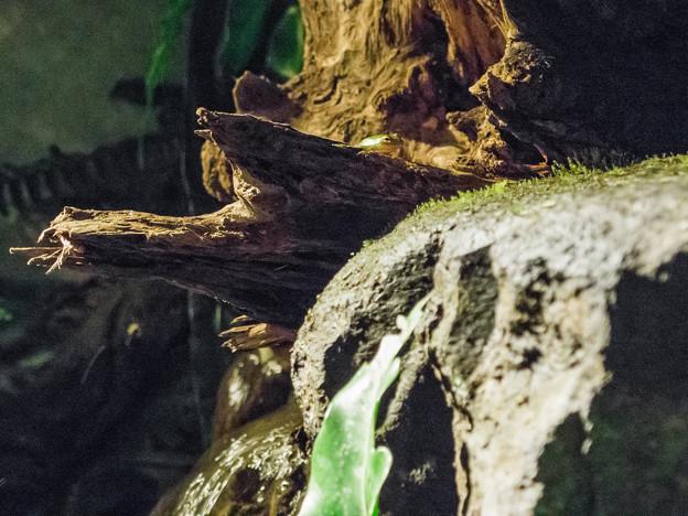 Tropical waterfallのカエル