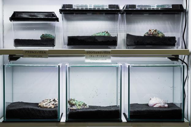 Laboratoryで飼育されているカエル