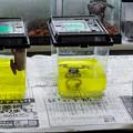 Laboratoryで治療されているカエル