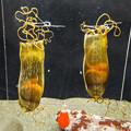 Photos: トラザメの卵