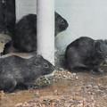 パンパステンジクネズミ