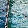 イルカが気になるゴマフアザラシ