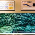 Photos: デンキウナギの水槽