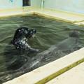 Photos: ゴマフアザラシのオトメとエイト