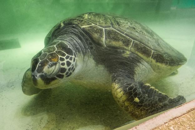 Photos: お休み中のアオウミガメ