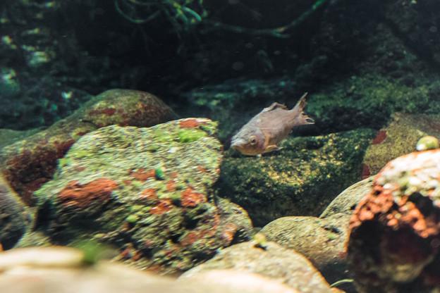 オオサンショウウオの水槽にいる魚