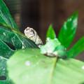 カエルハウスのニホンアマガエル