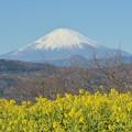写真: 菜の花と富士山