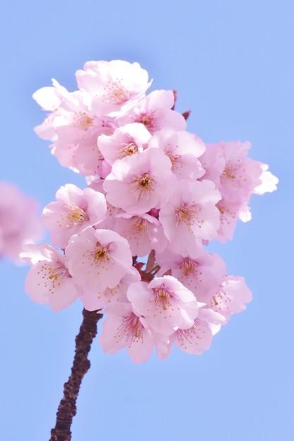 写真: 熱海桜