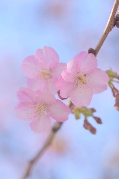 写真: 河津桜