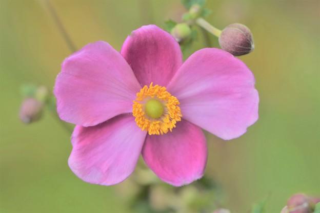 写真: 秋明菊