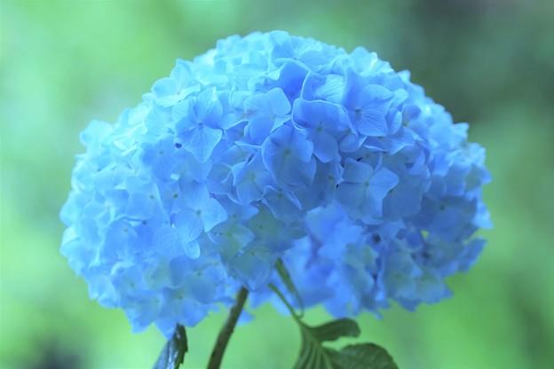 Photos: 明月院紫陽花