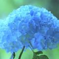 明月院紫陽花