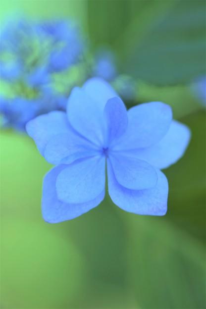 Photos: 八重紫陽花