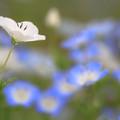 Photos: 白いネモフィラ