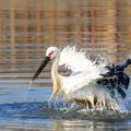写真: コウノトリ 5 水浴び