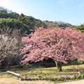 白野江植物公園 河津桜