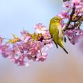 白野江植物公園 河津桜とメジロ