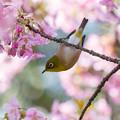 白野江植物公園 河津桜とメジロ 3
