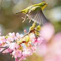 白野江植物公園 河津桜とメジロ 4