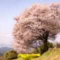 馬場の山桜 2