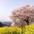 馬場の山桜 3