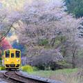 豊後中川駅の桜