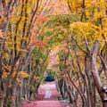 河内藤園 紅葉
