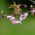 静豊園 河津桜 3