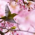 静豊園 河津桜とメジロ