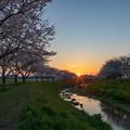 草場川 桜 夕景 2