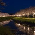 草場川 桜 ライトアップ 2