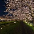 草場川 桜 ライトアップ 3
