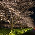 草場川 桜 ライトアップ 4