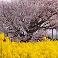 一心行の大桜 3