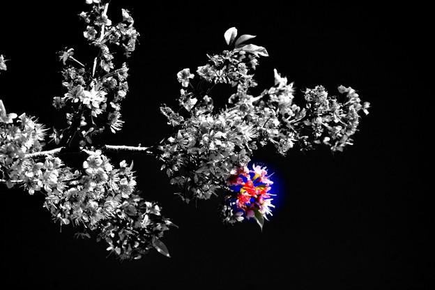 パルカモ咲き