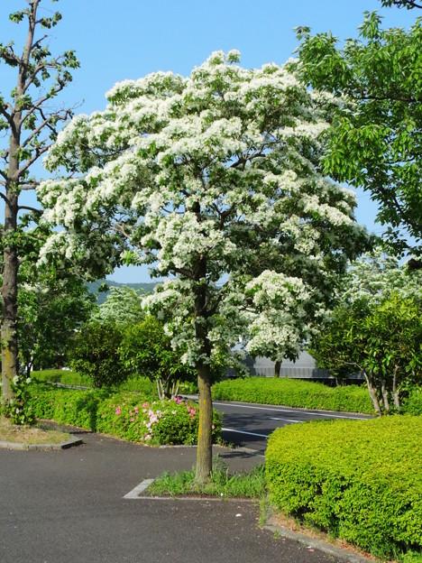 写真: 2358 岐阜大学ヒトツバタゴ並木道