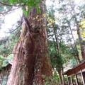 2368 小津白山神社の大杉