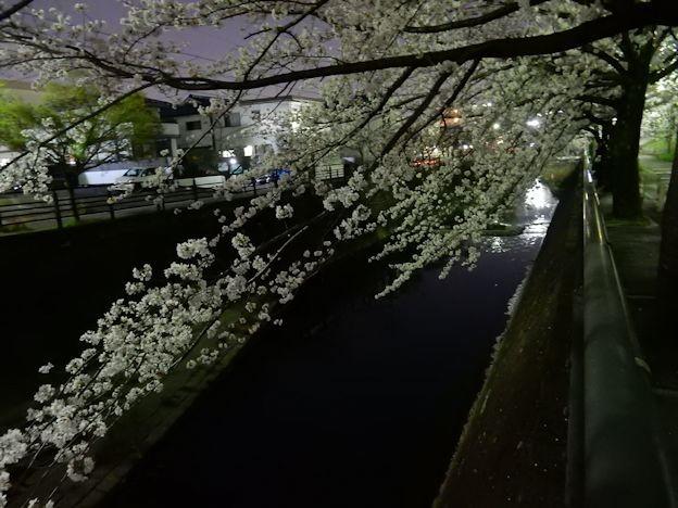 写真: 川とさくら