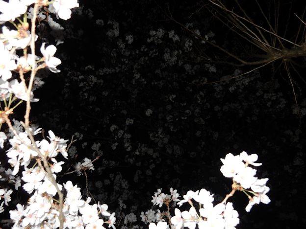 写真: さくら (3)
