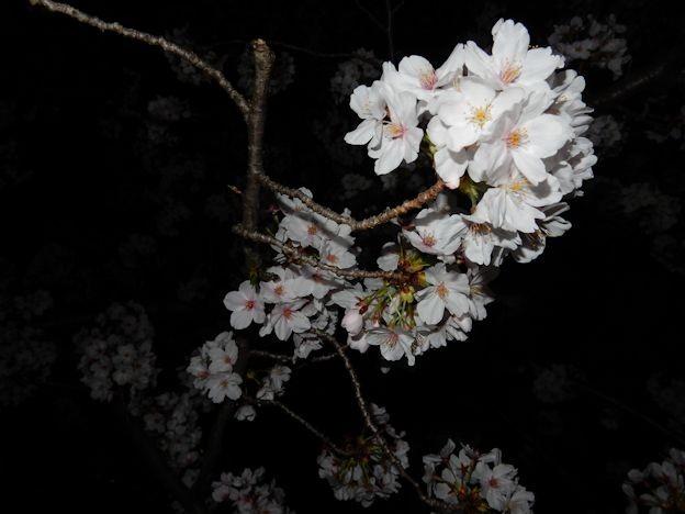 写真: さくら (2)