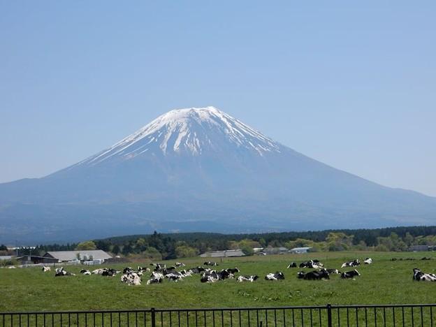 写真: 富士と牛