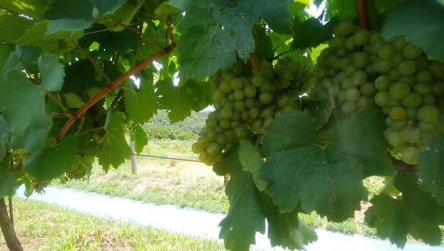 写真: ワイン用ブドウ (1)