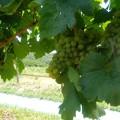 ワイン用ブドウ (1)